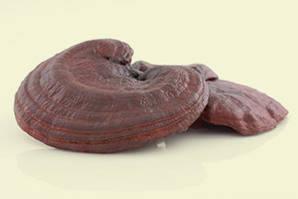 Ganoderma lucidum, Reishi, Ling Zhi, glänzender Lackporling